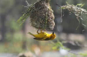 Closeup shot of a beautiful small yellow bird under its nest on a blurred background