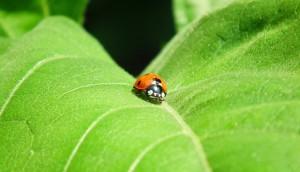 ladybug - coccinella su foglia